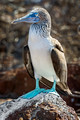 blue footed booby, North Seymour